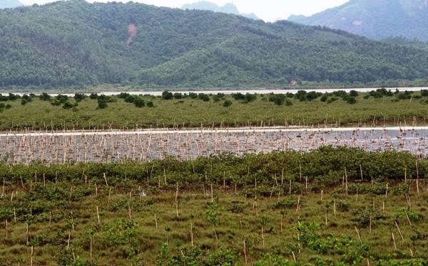 Quảng Ninh: Bảo vệ rừng ven biển, ứng phó với biến đổi khí hậu
