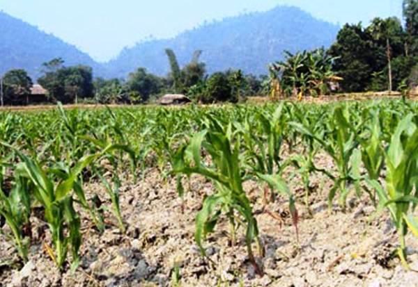 Đà Nẵng: Phòng chống khô hạn, xâm nhập mặn trong sản xuất nông nghiệp